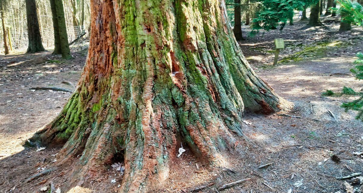 Über den Göttweiger Walderlebnisweg zu den Mammutbäumen