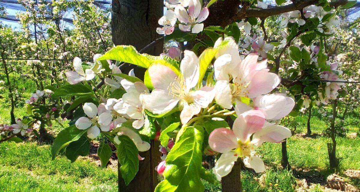 Wandern in der Apfelblüte – Rundweg Kronprinz